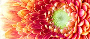 Golden Chrysanthemum - Gem Photography
