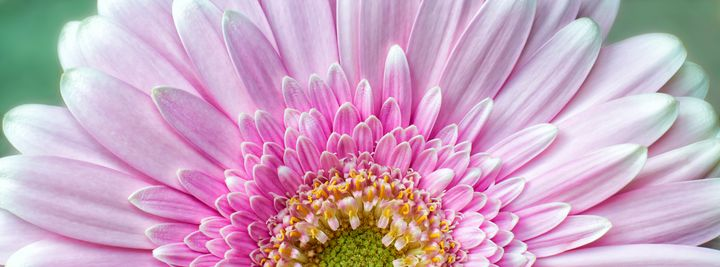 Pink Chrysanthemum - Gem Photography