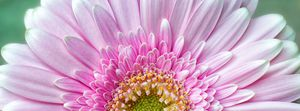 Pink Chrysanthemum - Gem Photography