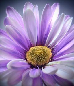 Purple Daisy Gerbera - Gem Photography