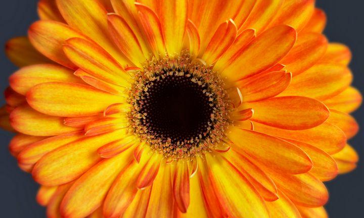 Orange Gerbera - Gem Photography