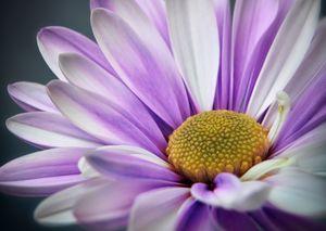 Purple Gerbera - Gem Photography