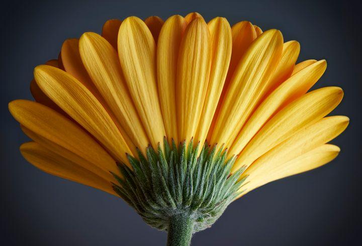 Yellow Gerbera - Gem Photography