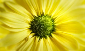 Yellow Daisy Gerbera - Gem Photography
