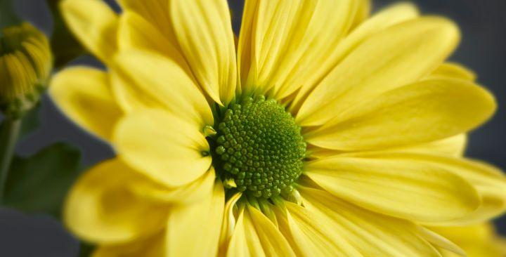 Yellow Daisy Gerbera - Gem Photography