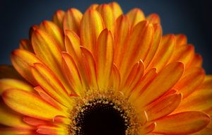 Orange Gerbera - Gem Photography