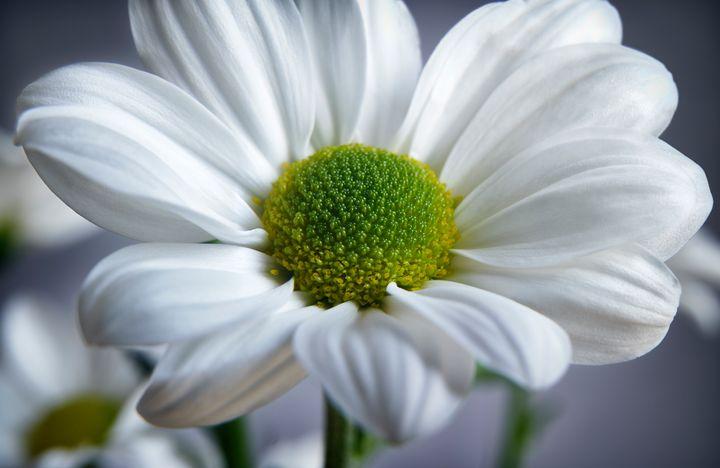 White Daisy - Gem Photography
