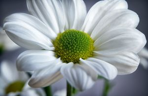 White Daisy - Gem Photography