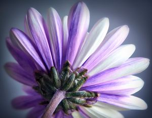 Purple Daisy - Gem Photography