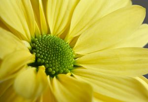 Yellow Gerbera - Gem Photography