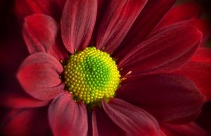 Red Daisy Gerbera - Gem Photography