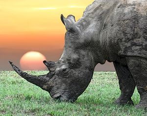 Rhino in front of sunset