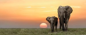 Elephants in front of sunset