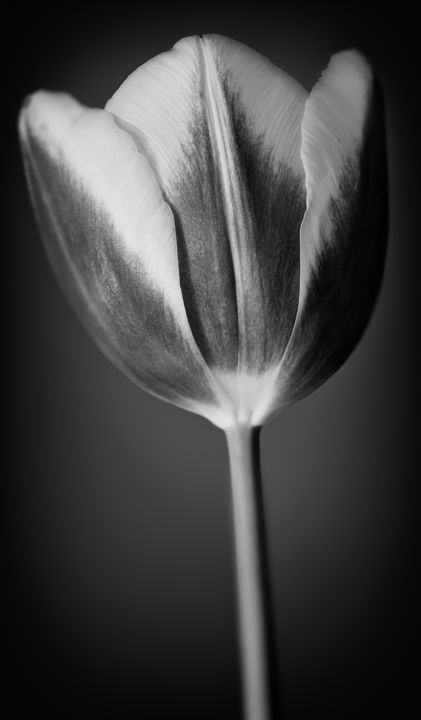 Tulip in Black & White - Gem Photography