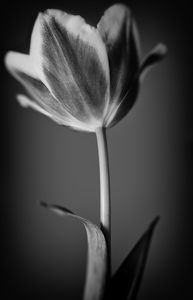 Tulip in Black & White - Gem Photography