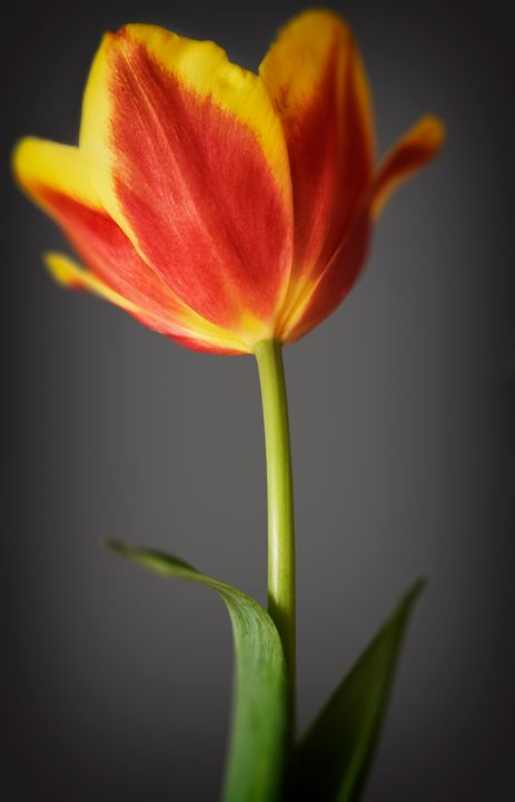 Tulip in colour - Gem Photography