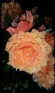 Rose Sparks