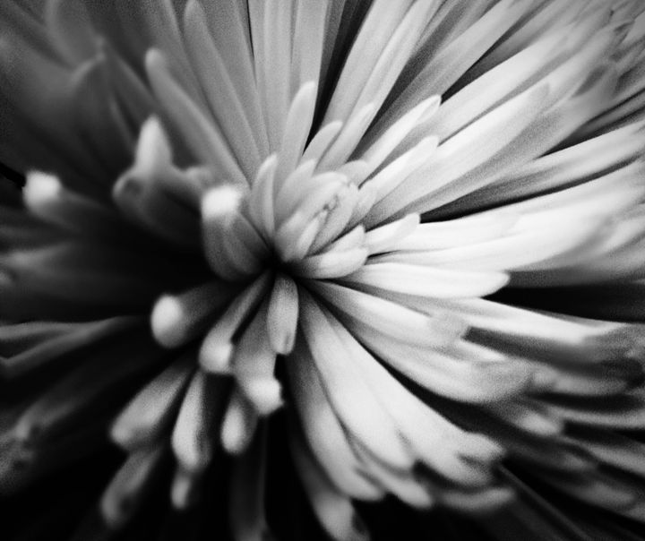 Flower black and white - Robin Lewis Gallery