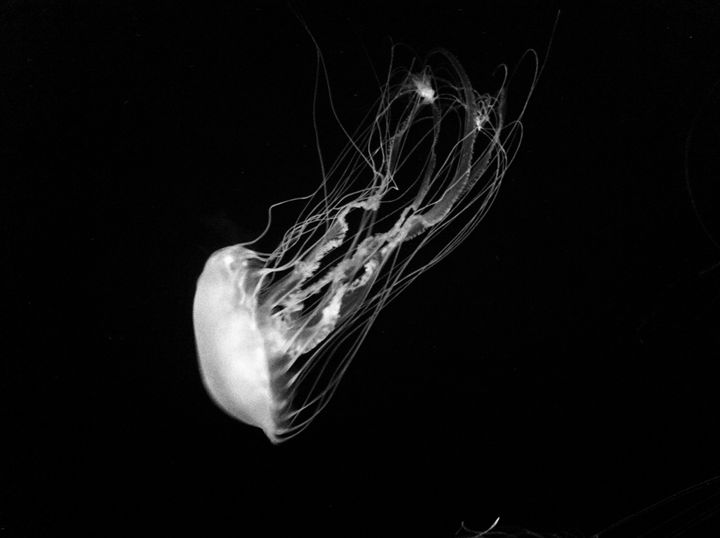 Jellyfish Black and White - Robin Lewis Gallery
