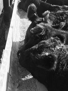 Herd black and white