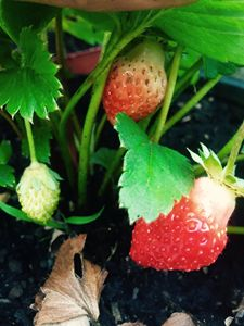 Stages of a Strawberry