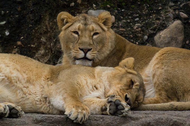Sleeping Lions - M.G. Schmid