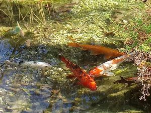 Coldwater Koi