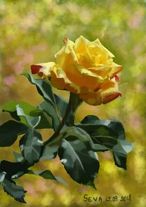 """Yellow rose"" by Seva"