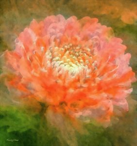 Chrysanthemum - Stacey Art Prints