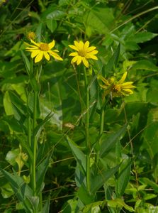 large woodland sunflower