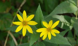 small woodland sunflower