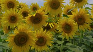 hybrid sunflowers