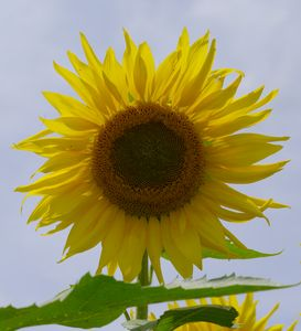 large hybrid sunflower
