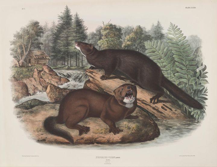 John James Audubon~Putorius vison, L - Artmaster