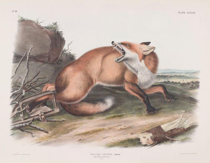 John James Audubon~Vulpes fulvus, (D - Artmaster