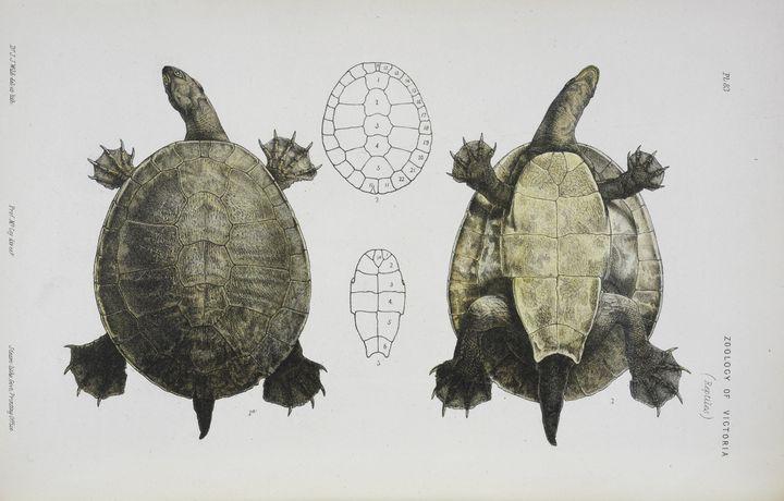John James Wild~Short-necked Tortois - Artmaster