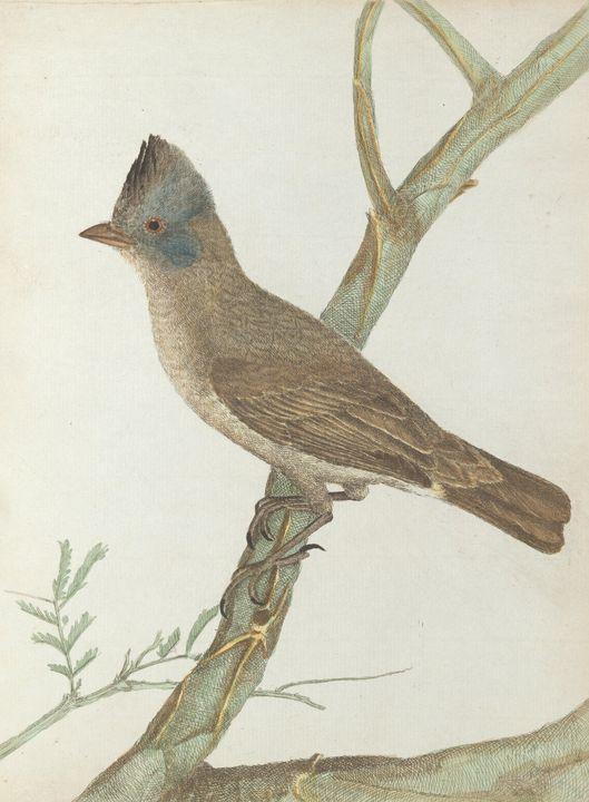 John Lewin~Crested thrush.Lewin, Joh - Artmaster