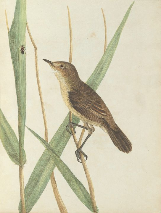 John Lewin~Reed warbler.Lewin, John. - Artmaster
