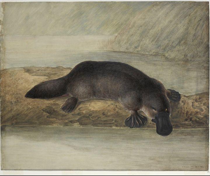 John Lewin~[Platypus], 1810, waterco - Artmaster