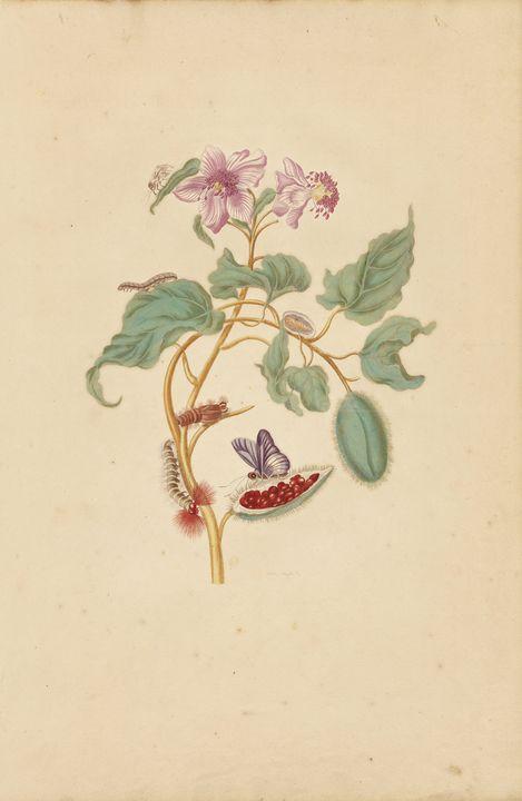 Maria Sibylla Merian~The Rocu Tree w - Artmaster