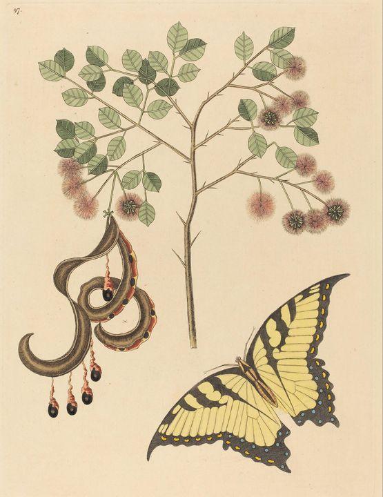 Mark Catesby~Cat's Claw (Mimosa circ - Artmaster