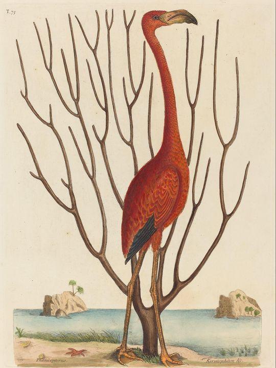 Mark Catesby~The Flamingo (Phoenicop - Artmaster