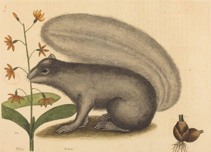 Mark Catesby~The Grey Fox Squirrel ( - Artmaster