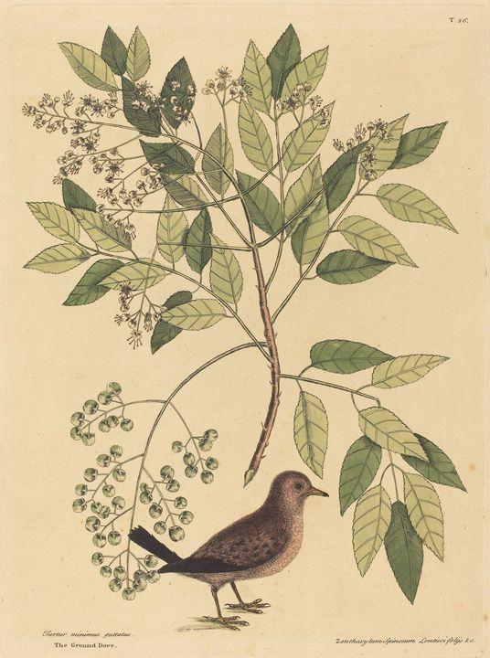 Mark Catesby~The Ground Dove (Columb - Artmaster