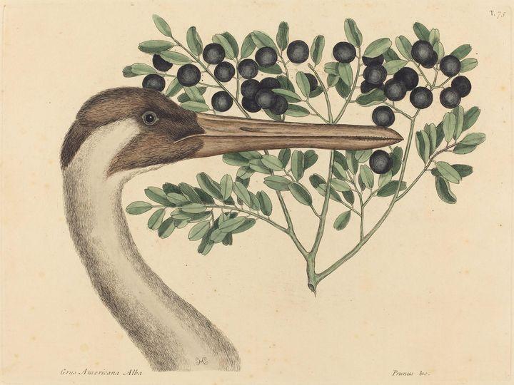 Mark Catesby~The Hooping Crane (Arde - Artmaster