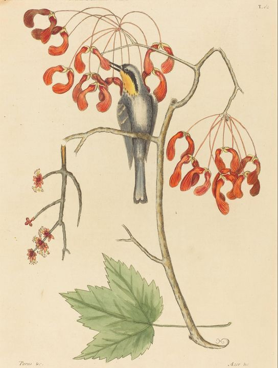 Mark Catesby~The Yellow Throated Cre - Artmaster