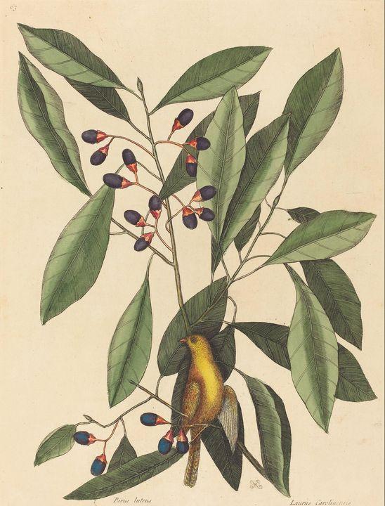 Mark Catesby~The Yellow Titmouse (Mo - Artmaster