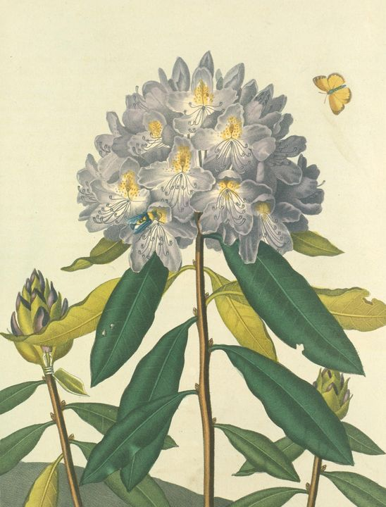 Roffe~The Pontic Rhododendron - Artmaster