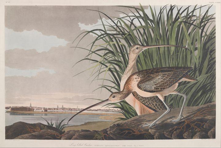 John James Audubon~Long-billed Curle - Artmaster
