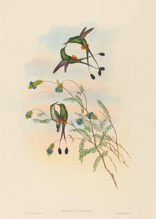 John Gould~Spathura peruana (Peruvia - Artmaster